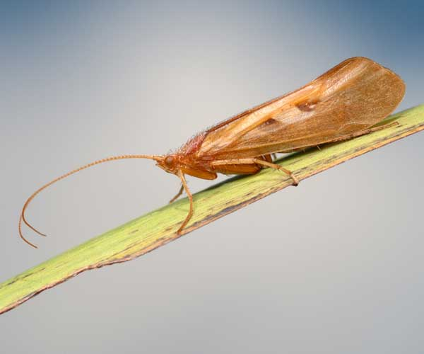 an adult caddis fly