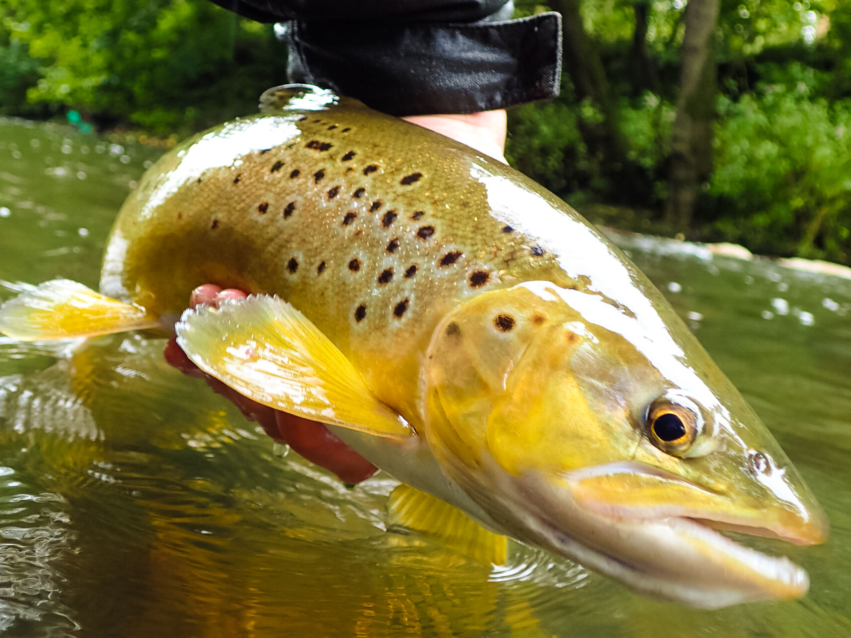 A large brown trout from a fly fishing lesson in the Peak District