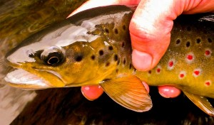 fly-fishing-tuition-peak-district-fish3.jpg